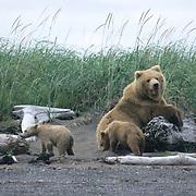 Alaskan Brown Bear, (Ursus middendorffi) Mother and two cubs leaning on drift wood. Alaskan Peninsula.