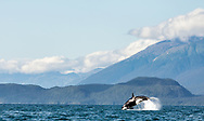 A Killer Whale (Orcinus orca) leaps into the air during a hunt chasing a porpoise in Lynn Canal in Southeast Alaska. Summer. Evening.
