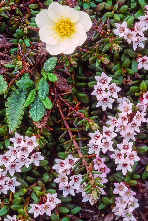 White dryas (Dryas spp) and Alpine azalia (Loiseleuria procumbens), Chukotsk Peninnsula, NE Russia