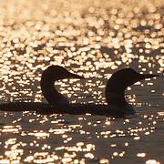 Common loon (Gavia immer) pair, Minnesota.
