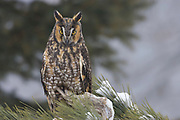 Long-eared Owl (Asio otus), perched in snowy tree, Sparta. Wisconsin. United States birds of prey, owls