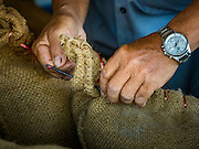 """08 DECEMBER 2015 -  NONG SAENG, NAKHON NAYOK, THAILAND: A worker at a rice drying business sews shut bags of dry but unmilled rice during the rice harvest in Nakhon Nayok province, about two hours north of Bangkok. Thai agricultural officials expect rice prices to go up by as much as 15% as global production of rice is cut by the Pacific Ocean El Niño weather pattern. Thailand's rice production is expected to drop in the coming year. Persistent drought has reduced the main crop, currently being harvested, and the military government has ordered farmers not to plant a second crop of """"dry season"""" rice to conserve Thailand's dwindling supply of water. Thailand's water reservoirs are at their lowest seasonal levels in recent memory and little rain is expected during the dry season, which lasts until June.    PHOTO BY JACK KURTZ"""
