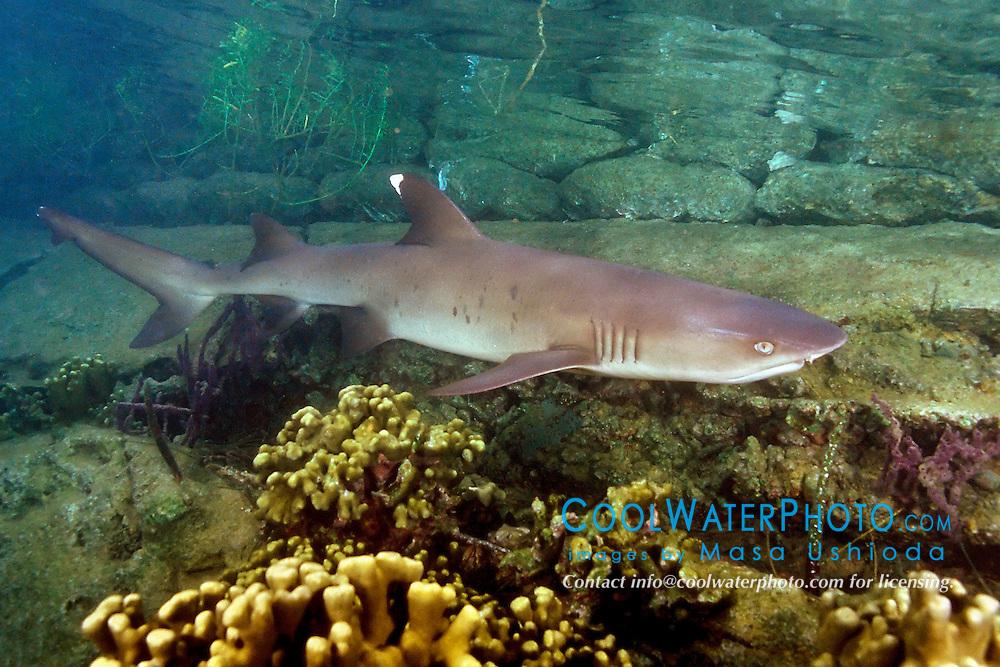 whitetip reef shark, Triaenodon obesus, juvenile (c), Oahu, Hawaii, Pacific Ocean