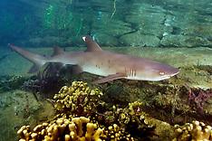 Whitetip Reef Shark