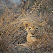 Young African lion cub. South Africa.