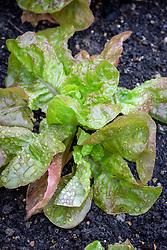 Lettuce check i.d
