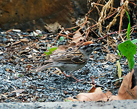 Chipping Sparrow.Image taken with a Fuji X-T2 camera and 100-400 mm OIS telephoto zoom lens.