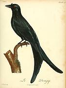 Drongup from the Book Histoire naturelle des oiseaux d'Afrique [Natural History of birds of Africa] Volume 4, by Le Vaillant, Francois, 1753-1824; Publish in Paris by Chez J.J. Fuchs, libraire 1805