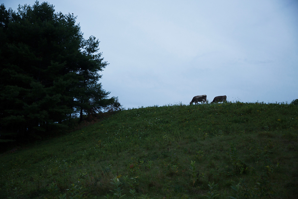 Silouetted cows on a  hillside