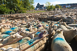 © Licensed to London News Pictures. 25/09/2020.  Builth Wells, Powys, Wales, UK. The market is full for the sale of lambs and ewes on a fine day in Builth Wells in Powys, UK. Photo credit: Graham M. Lawrence/LNP