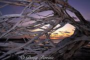 driftwood at sunrise, Small Hope Bay, <br /> Andros Island, Bahamas,<br /> ( Western Atlantic Ocean )