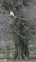 Luton Hoo Estate Shoot  5th January 2013