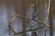 A Double-Crested Cormorant (Phalacrocorax auritus) rests on a broken branch in North Creek in Bothell, Washington. A cormorant's feathers are not water repellant, so they typically dive into the water only to feed. They spend most of their time on perches, drying their wings.