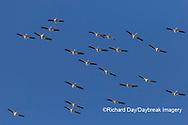 00671-01012 American White Pelicans (Pelecanus erythrorhynchos) group in flight Clinton Co. IL