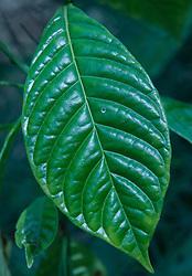 Wild Coffee (Psychotria nervosa), Hammock Trail, Sebastian Inlet State Park, Sebastian, Florida, US