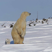 Mother and cub polar bear traveling towards Hudson Bay passes through a spruce forest in Wapusk National Park. Mother stands, concerned about possible danger. It's early March and the temperatures are -46F, this is the time mother and cubs emerge from the den. Manitoba, Canada