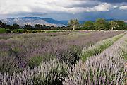 Lavender fields in Rio Rancho, New Mexico<br />