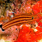 Peppermint hide in dark recesses in reefs and walls in Tropical West Atlantic; picture taken St. Vincent.