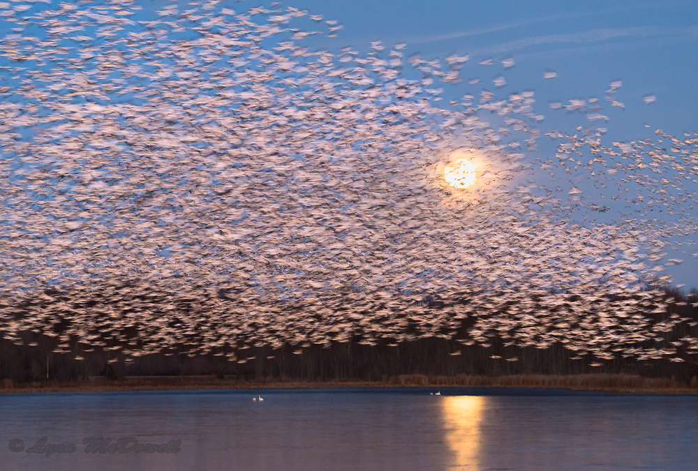 As the January blue moon eclipse started just before sunrise, thousands of Snow Geese took off becoming a beautiful blur of motion. January 31, 2018 Bombay Hook NWR