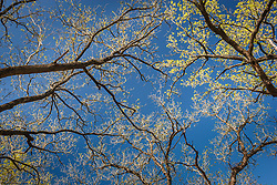 Tree canopy with new leaves,  Hill Country region, Texas, USA