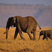 African Elephant (Loxodonta africana) mother and baby. Serengeti Plains, Masai Mara National Reserve, Kenya, Africa