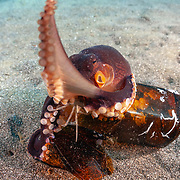 This sequence depicts a veined octopus (Amphioctopus marginatus) using a broken bottle as a portable shelter. The octopus was carrying a small crab that it had caught for a meal. Image 13 in a series of 15.