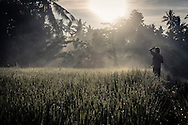A man stands in a glistening rice field at dawn in Ubud Area, Bali, Indonesia, Southeast Asia