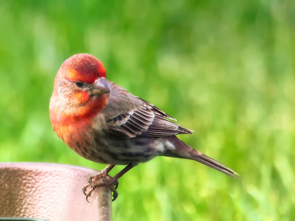 Red Male House Finch on the corner of a feeding tray on a bright vibrant day