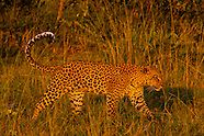 Botswana-Wildlife-Leopards