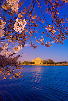 Cherry blossoms (Jefferson Memorial behind), Cherry Tree Walk, Tidal Basin, Washington D.C., U.S.A.