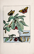 Handcoloured copperplate engraving drawn and etched by Jacob l'Admiral in Naauwkeurige Waarneemingen omtrent de veranderingen van veele Insekten (Accurate Descriptions of the Metamorphoses of Insects), J. Sluyter, Amsterdam, 1774. For the second edition, M. Houttuyn added another eight plates to the original 25.