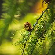Soft autumn morning light on a fir cone. Great to be walking in the woods of Westonbirt Arboretum with over 15,000 specimens, 2,500 different species from around the world - always a dramatic seasonal show @westonbirtarb