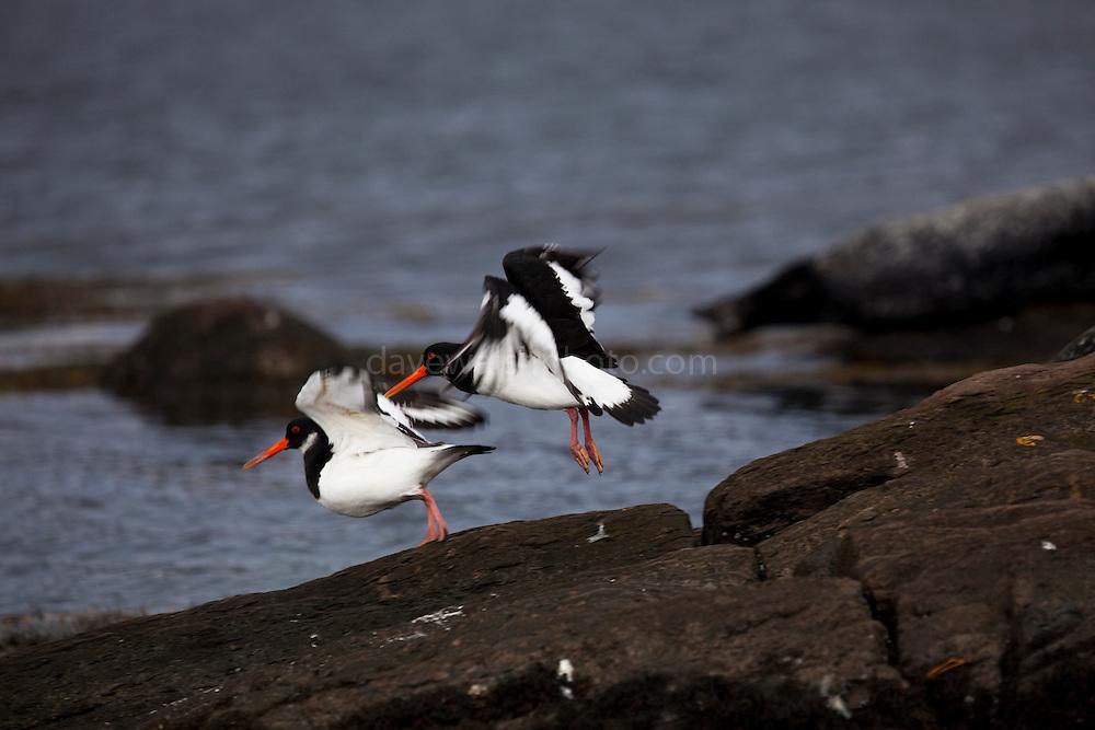 Two oystercatchers on rocks near Gairinish island, Glengarriff, Co. Cork.