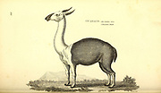 guanaco (Lama guanicoe) from General zoology, or, Systematic natural history Vol II Part 2 Mammalia, by Shaw, George, 1751-1813; Stephens, James Francis, 1792-1853; Heath, Charles, 1785-1848, engraver; Griffith, Mrs., engraver; Chappelow. Copperplate Printed in London in 1801 by G. Kearsley