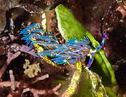 Nudibranch at Lilua's Reef,  Papua New Guinea