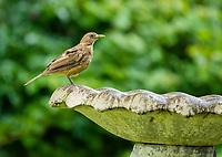 Clay-colored Thrush, Turdus grayi, the national bird of Costa Rica, perches on a fountain in the gardens of the Hotel Bougainvillea, Santo Domingo de Heredia, Costa Rica