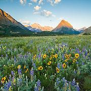 wildlife flowers in meadow grinnell point, apikuni flats glacier national park