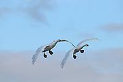 Bewick's Swan (Cygnus columbianus) pair in flight about to land, Slimbridge, UK.