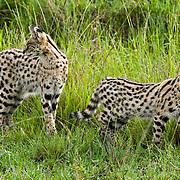 Serval cat (Felis serval) mother and older baby, Masai Mara National Reserve, Kenya, Africa