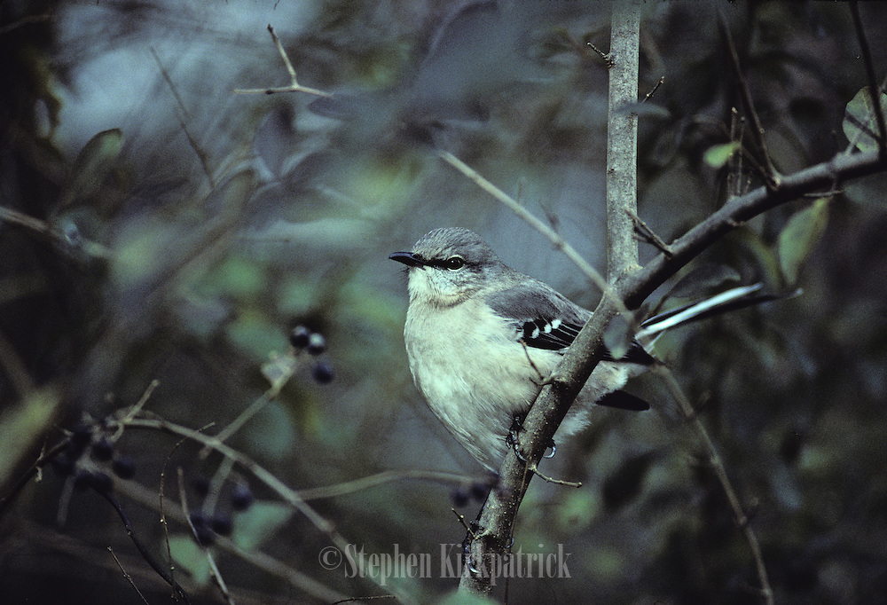 Mocking bird, Mississippi state bird, in bush - Mississippi.