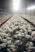 Chickens in the livestock pen at a chicken farm that uses no antibiotics in their rearing. Eindhoven, Holland