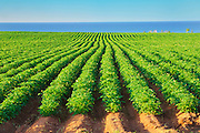 Rows of potatoes in filed in early summer with red soil by the sea<br /> Bothwell<br /> Prince Edward Island<br /> Canada