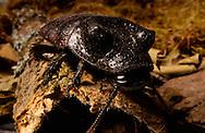 Deu, Deutschland: Madagaskar Fauchschabe (Elliptorhina spec.) sitzt auf einem Stück Baumrinde | Deu, Germany: Madagascar hissing cockroach (Elliptorhina spec.) sitting on a piece of rind from a tree |