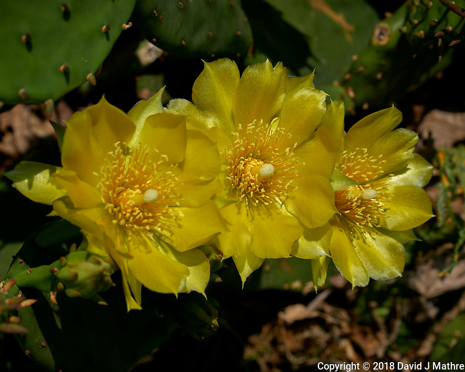 Yellow Prickly Pear Cactus Blooms. Image taken with a Leica TL2 camera and 60 mm f/2.8 macro lens.