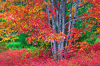 Vibrant red color graces a red maple and blueberry ground cover in Acadia National Park in Maine during autumn.