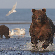 Brown bear mother charging after salmon. Lake Clark National Park, Alaska