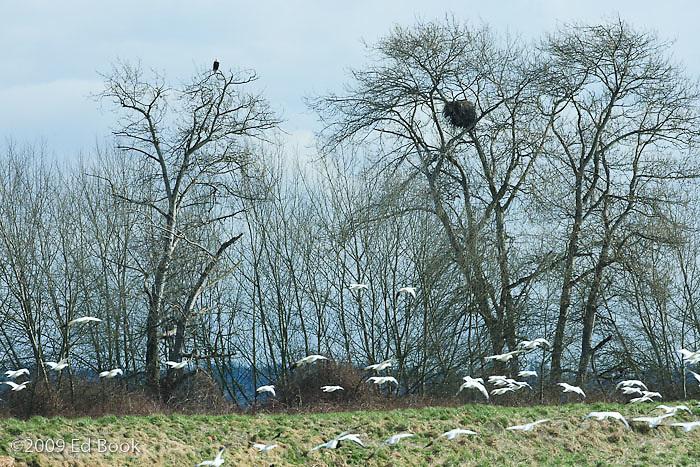 A Bald Eagle (Haliaeetus leucocephalus) near it's nest watches Snow Geese (Chen caerulescens) wintering at the Skagit River delta in Skagit County, Washington, USA.