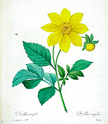 19th-century hand painted Engraving illustration of a simple Dahlia (Dahlia coccinea) flower, by Pierre-Joseph Redoute. Published in Choix Des Plus Belles Fleurs, Paris (1827). by Redouté, Pierre Joseph, 1759-1840.; Chapuis, Jean Baptiste.; Ernest Panckoucke.; Langois, Dr.; Bessin, R.; Victor, fl. ca. 1820-1850.