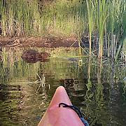 Beaver off the bow of the kayak. Island Lake, Minnesota