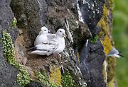 Northern Fulmar, Fulmarus glacialis, St. Paul Island, Pribilof Islands, Alaska. Digital original ©Robin Brandt  #07_8290